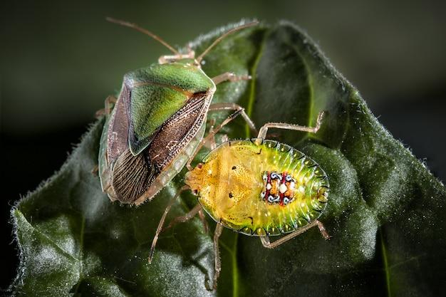 Paare des wanzeninsekts auf extremem abschluss des blattes herauf foto