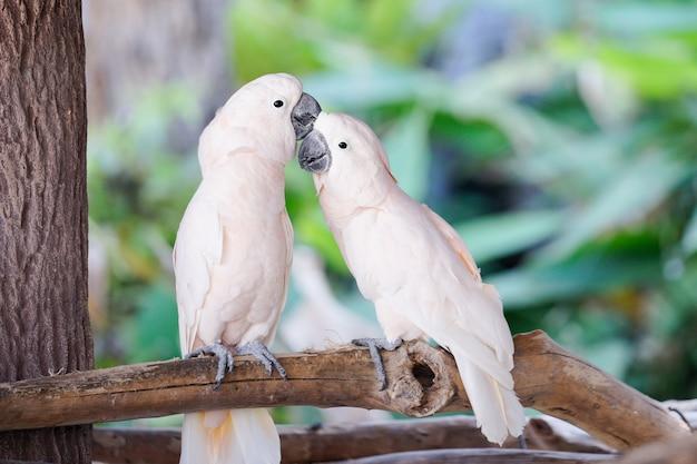 Paare des weißen papageien auf dem baumast im zoo