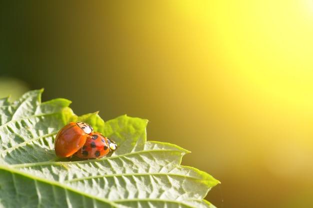 Paare käfer kopulieren marienkäfer auf einem grünen blatt in den goldenen strahlen der untergehenden sonne. das konzept von sex, liebe, beziehungen
