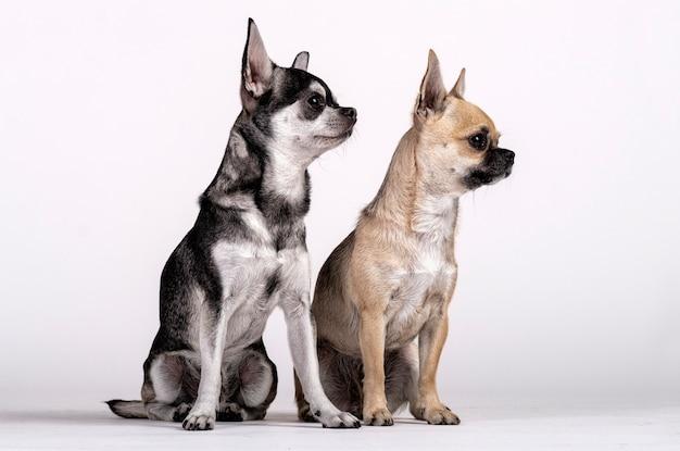 Paare von chihuahua, von mann und von frau, die in richtung zur seite schauen