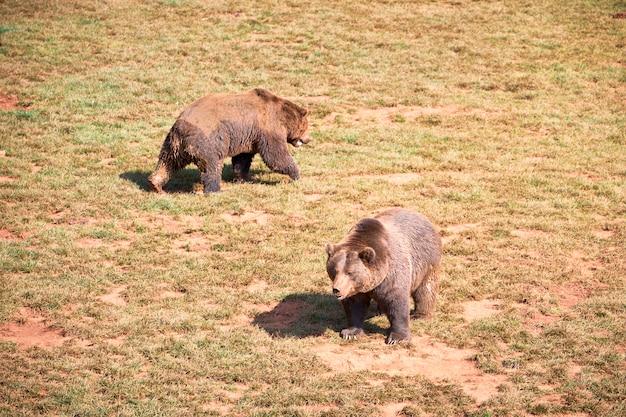 Paare von den braunbären, die an einem falltag ein sonnenbad nehmen