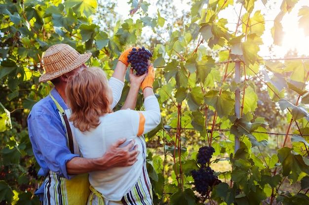 Paare von landwirten erfassen ernte von trauben auf ökologischem bauernhof, glücklichem älterem mann und frau, die trauben überprüft