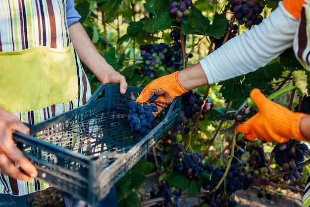 Paare von landwirten erfassen ernte von trauben auf ökologischem bauernhof. glücklicher älterer mann und frau, die trauben in kasten einsetzt