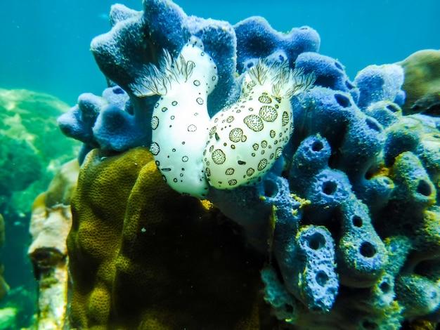 Paare von schwarzweiss-seeschnecken auf der bunten koralle