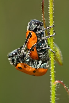 Paarung der blattkäfer (lachnaia paradoxa)