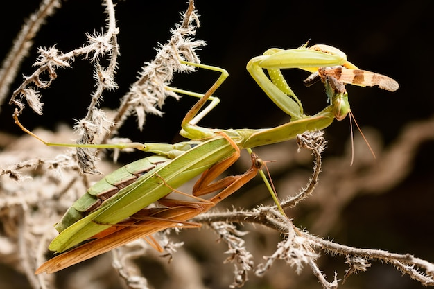 Paarung gottesanbeterin im busch