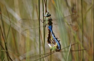 Paarung libellen, makro