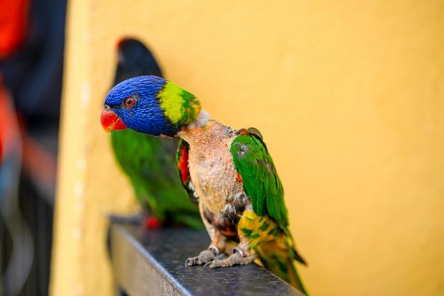 Paarungsspiele rainbow lorikeet. ein verblassener papagei klebt an einer frau