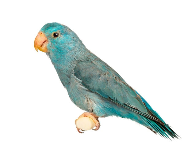 Pacific parrotlet, forpus coelestis, thront gegen weiße oberfläche