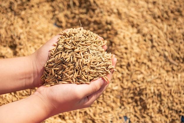 Paddy in der ernte, der goldgelbe paddy in der hand, bauer, der paddy zur hand trägt, reis.