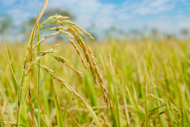 Paddy rice-feld bei nord-thailand, roher naturlebensmittelhintergrund-kopienraum