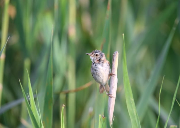 Paddyfield-trällerer (acrocephalus medicola) im weichen morgenlicht. der vogel sitzt auf schlanken rohrstielen