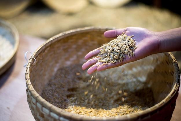 Paddysamen auf dem behälter von der ernte in der palme eines landwirts