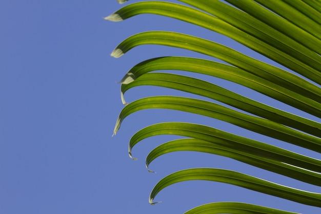 Palmblätter auf hintergrund des blauen himmels