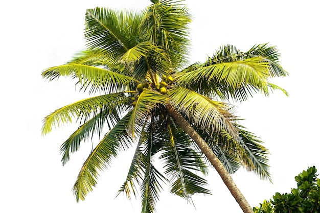 Palme auf weißem oberflächenisolat