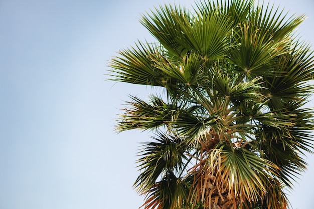 Palme gegen den blauen sommerhimmel