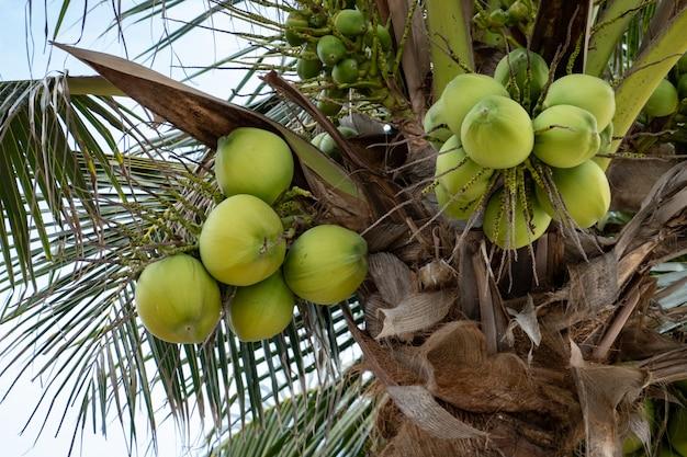 Palme mit reifen kokosnüssen, kokosnussbündel auf einer palme.