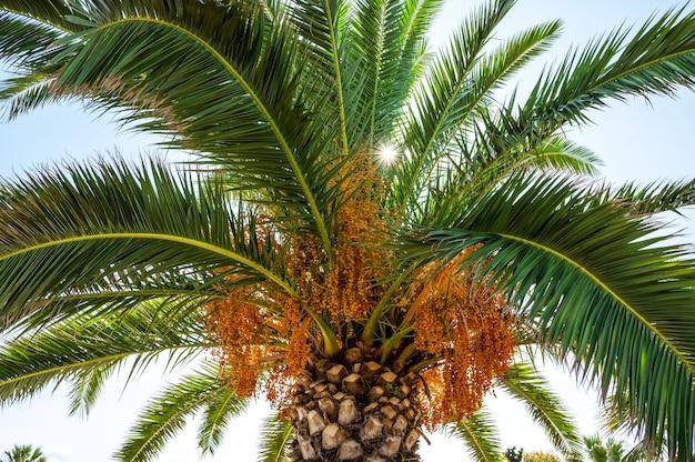 Palme mit sonne, die durch die grünen zweige bricht