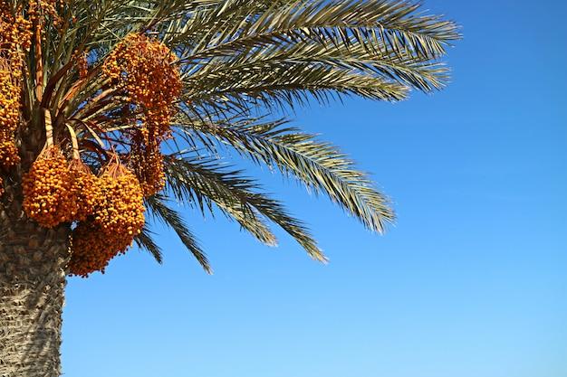 Palme mit vielen bündeln von gelben früchten im sonnenlicht von paracus, peru