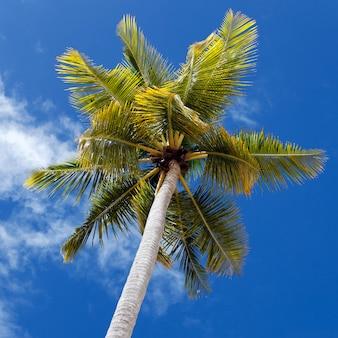 Palme und blauer himmel im karibischen strand