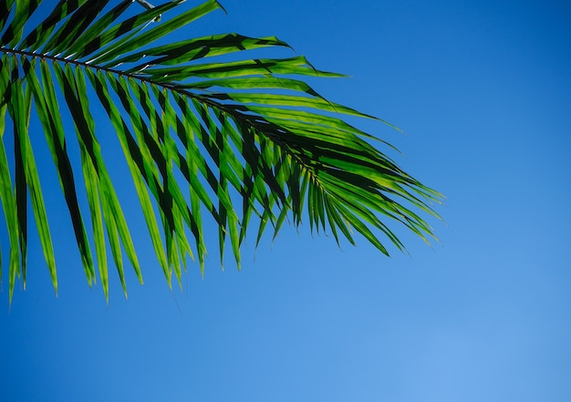 Palmebaumniederlassung oder kokosnussblatt und sonnig auf klarem blauem himmel.
