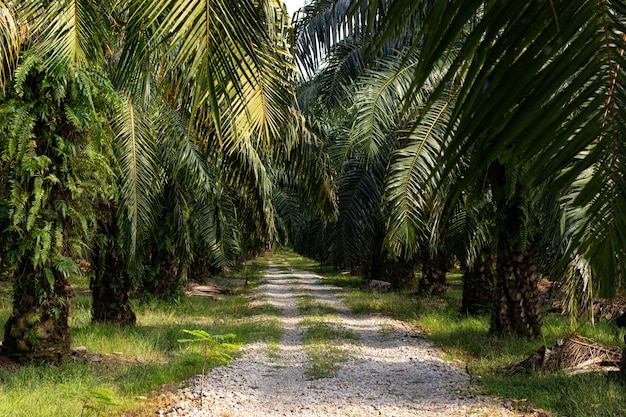 Palmen auf einer palmölplantage in südostasien