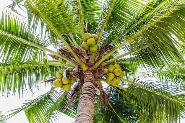 Palmen mit kokosnuss am strand.