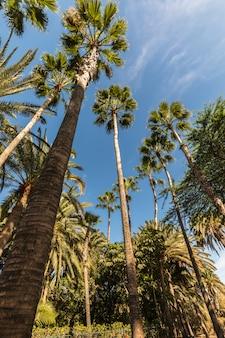 Palmen reichen in richtung eines blauen himmels. frosch perspektive.