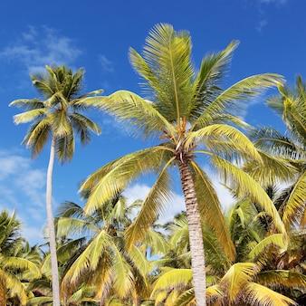 Palmen und blauer himmel im karibischen strand