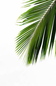 Palmenblatt auf weißem hintergrund