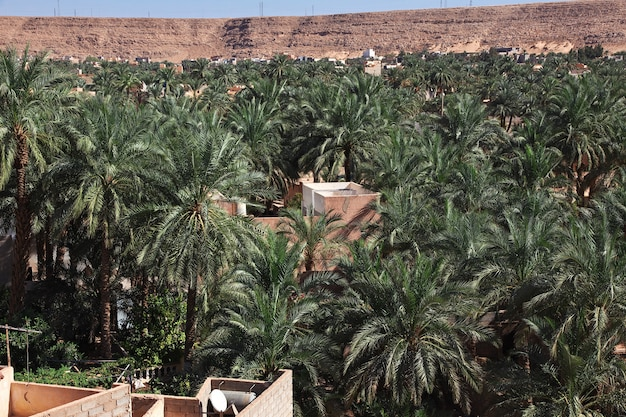 Palmenlocke in ghardaia-stadt, sahara-wüste, algerien