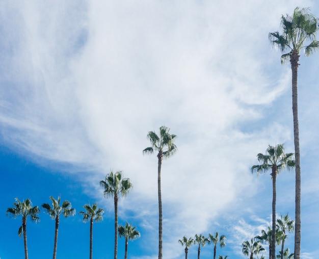 Palmenpalme gegen grüne palmenblätter des blauen himmels