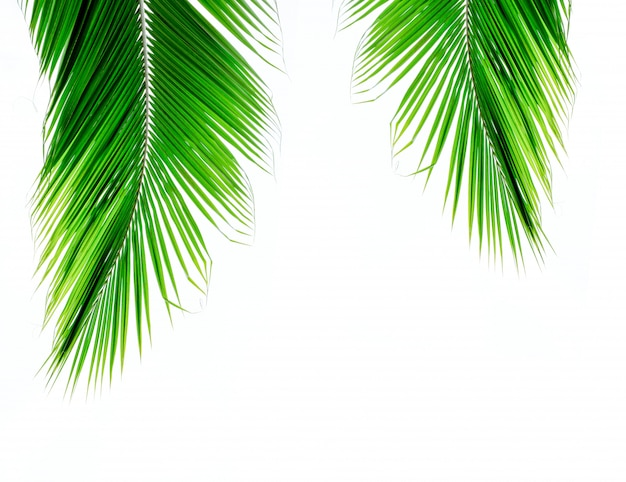 Palmkokosnussblätter auf weißem hintergrund