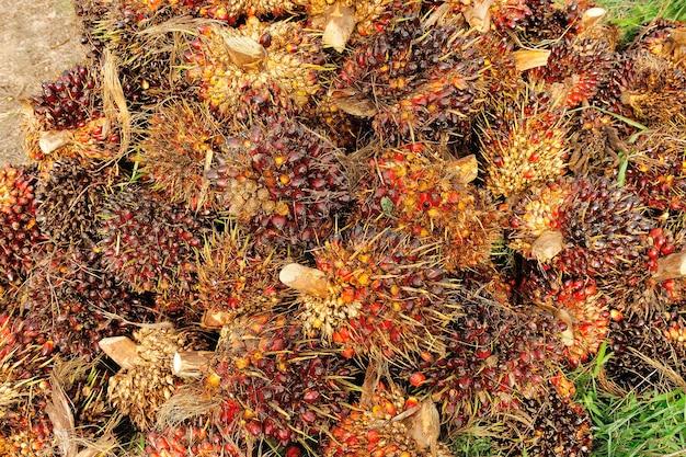 Palmölfrüchte auf dem boden