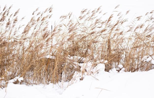 Pampasgraszweige auf dem hintergrund der winternatur