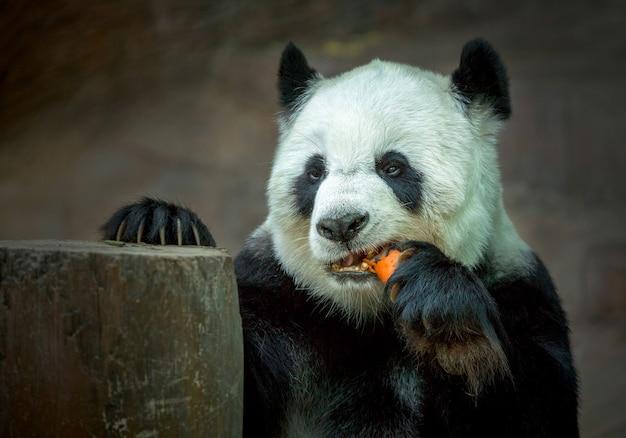 Panda, der karotten isst.