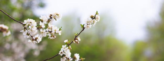 Panorama der blühenden bäume in der frühlingssaison. weiße blumen auf ästen mit kopienraum.