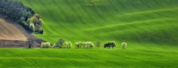 Panorama der feldwellen mit blühenden bäumen