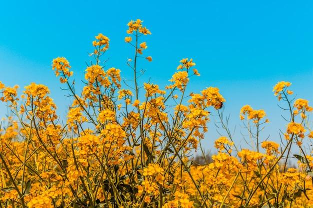 Panorama des blühenden feldes, gelber raps