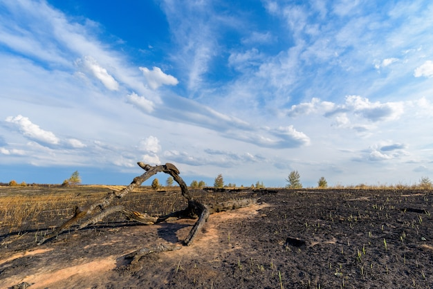 Panorama eines verbrannten feldes und kiefernwaldes gegen einen blauen himmel mit wolken.
