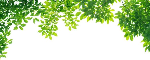Panorama grüne blätter auf weißem hintergrund