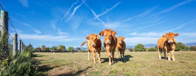 Panoramablick auf braune kühe im französischen land