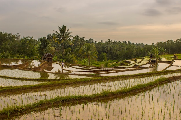 Panoramablick auf reisterrassen in bengkulu utara, indonesien