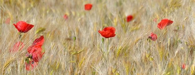 Panoramablick auf schönen roten mohn, der in einem getreidefeld blüht