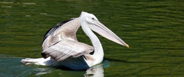 Panoramablick des weißen pelikans auf wasser