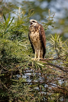 Pantanalvogel im naturlebensraum