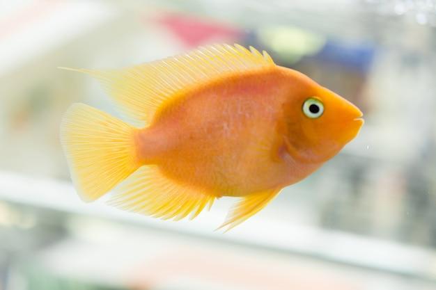 Papagei fisch. der aquarienblutpapageienbuntbarsch oder häufiger und früher als papageienbuntbarsch bekannt.