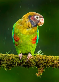 Papagei mit brauner kapuze auf einem ast