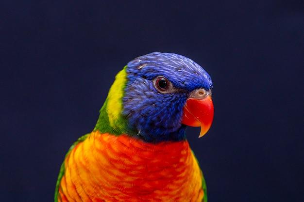 Papagei trichoglossus moluccanus