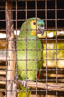 Papagei, vögel der papageienfamilie. brasilianischer vogel, der in gefangenschaft gehalten wird, soll illegal beschafft werden